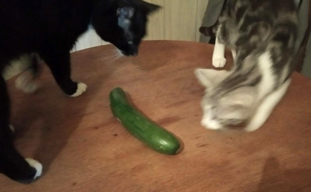 koty i ogórek